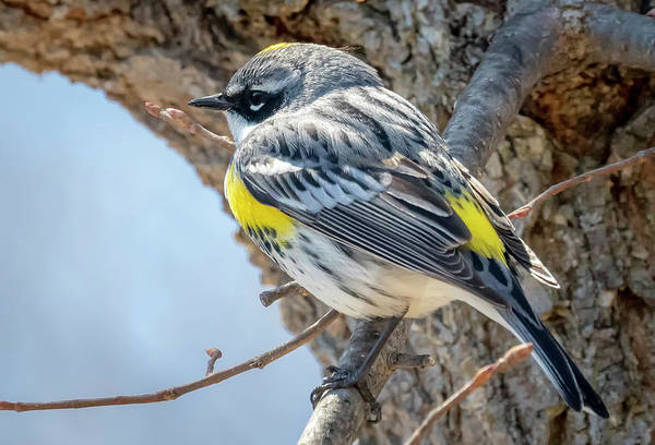 Photograph - Yellow-rumped Warbler by Ricky L Jones