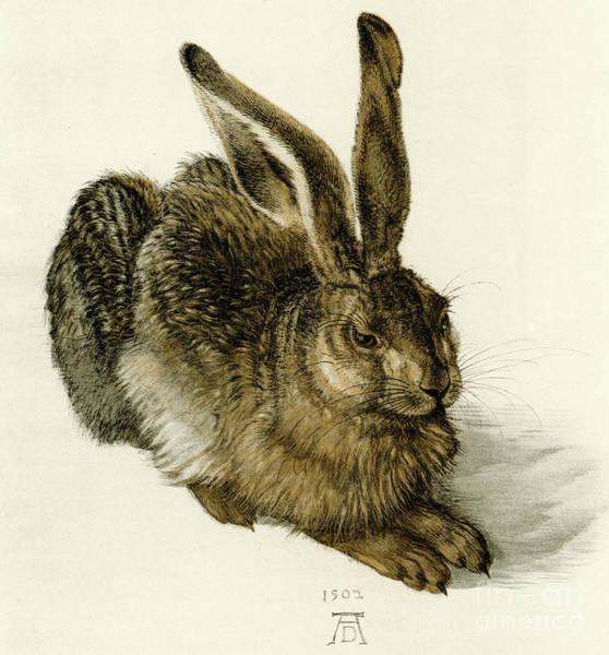 Albrecht Durer Wall Art - Painting - Young Hare by Albrecht Durer