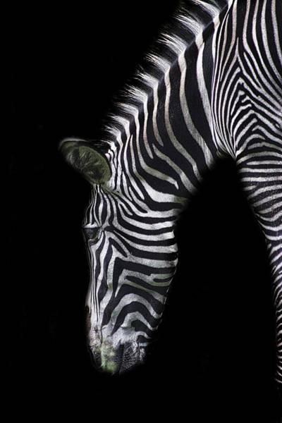 Zebra Pattern Photograph - Zebra Stripes by Martin Newman