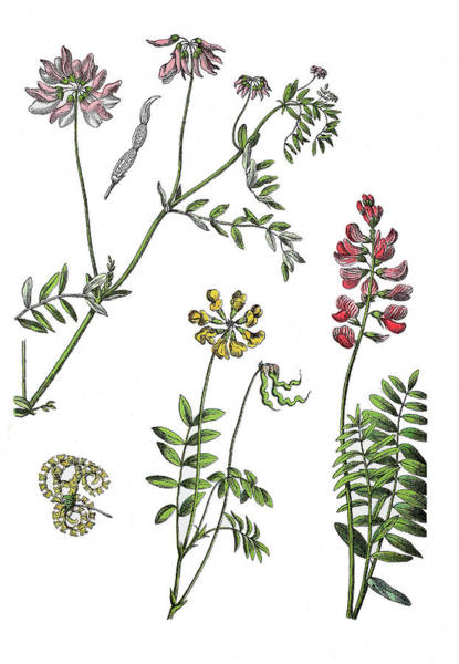 Sainfoin Wall Art - Drawing - Various Medicinal Plants by Bildagentur-online