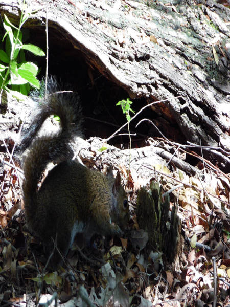 Photograph - 4802015 Squirrel In Marsh  Louisiana by Garland Oldham