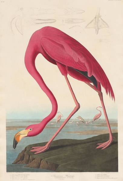 Flamingos Wall Art - Drawing - American Flamingo by Dreyer Wildlife Print Collections