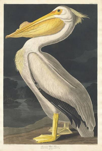 Wall Art - Drawing - American White Pelican by Dreyer Wildlife Print Collections