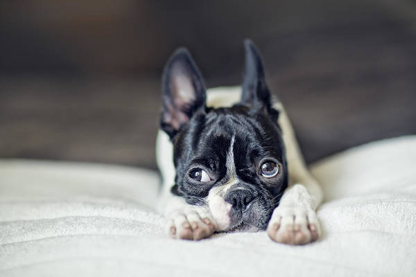 Wall Art - Photograph - Boston Terrier Puppy by Nailia Schwarz