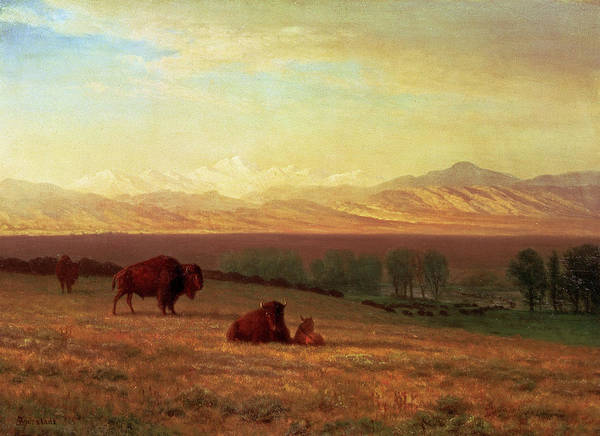 Yak Painting - Buffalo On The Plains by Albert Bierstadt