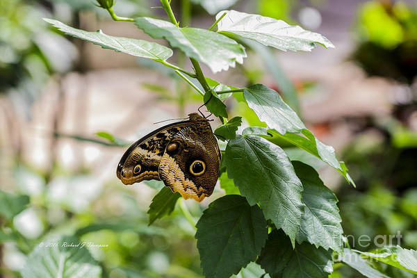 Photograph - Owl Butterfly by Richard J Thompson