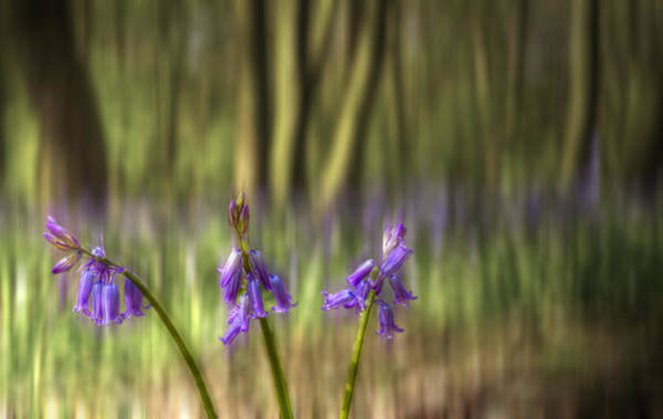 Epping Wall Art - Photograph - Chalet Bluebell Woods by David French