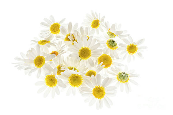 Photograph - Chamomile Flowers by Elena Elisseeva