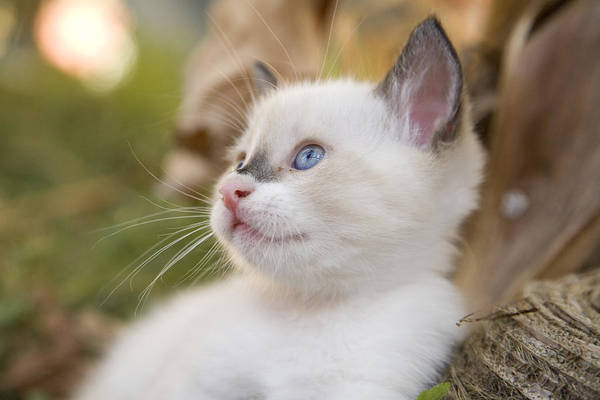 Wall Art - Photograph - Cute 2 Month Old White Kitten by Ian Middleton