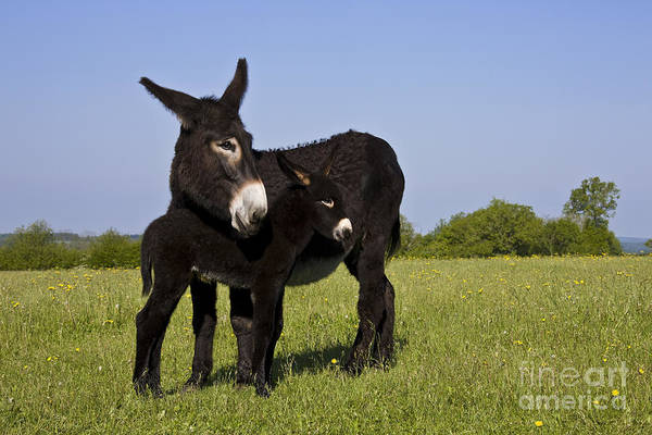 Equus Africanus Photograph - Donkey And Foal by Jean-Louis Klein & Marie-Luce Hubert