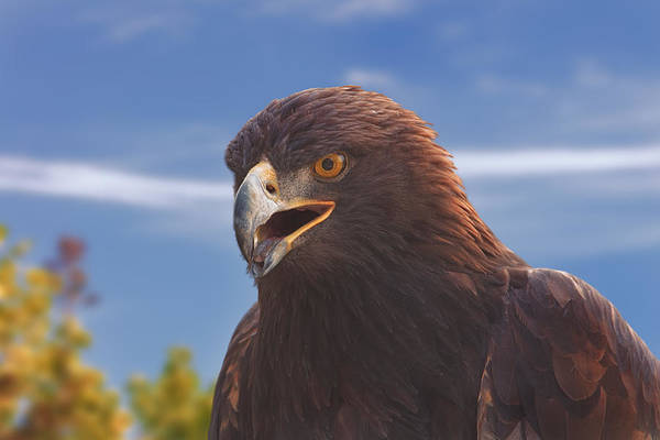 Photograph - Golden Eagle  by Brian Cross