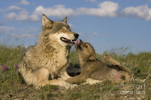Timber Wolves Photograph - Gray Wolf And Cub by Jean-Louis Klein and Marie-Luce Hubert