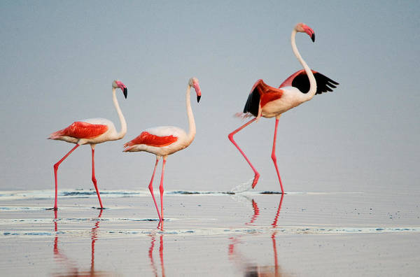 Water Birds Photograph - Greater Flamingos Phoenicopterus Roseus by Panoramic Images