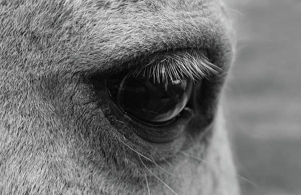 Photograph - Horse Eye by Larah McElroy