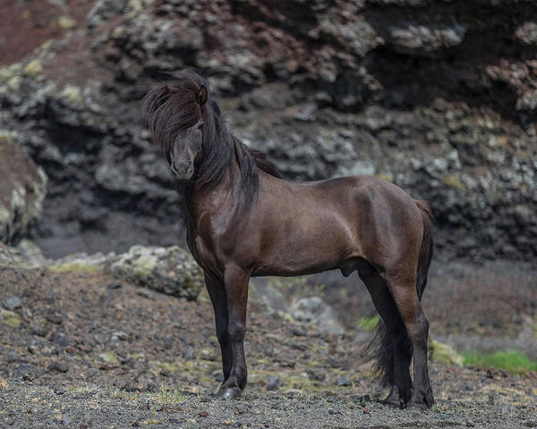 Wall Art - Photograph - Icelandic Black Stallion, Iceland by Panoramic Images