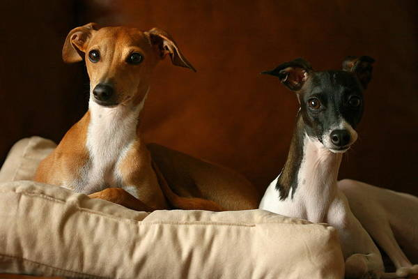 Photograph - Italian Greyhounds by Angela Rath