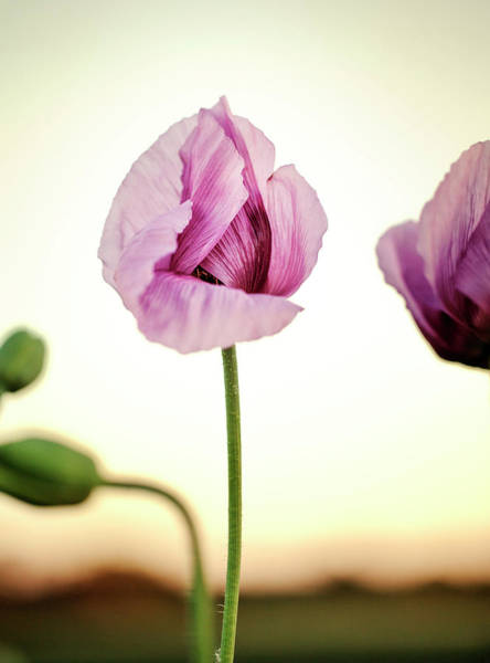 Blooming Wall Art - Photograph - Lilac Poppy Flowers by Nailia Schwarz