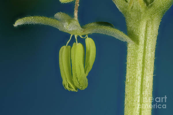Photograph - Male Flower Of Cannabis Plant by Ted Kinsman