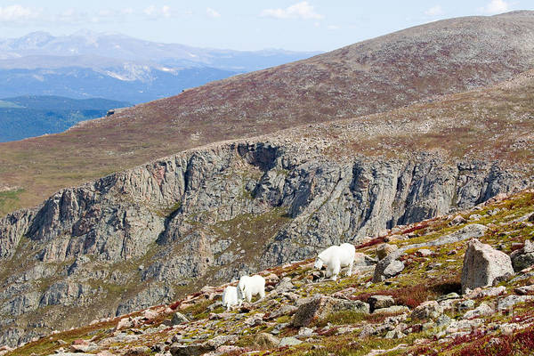 Photograph - Mountain Goats On Mount Bierstadt In The Arapahoe National Fores by Steve Krull