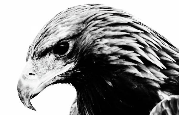 Photograph - Portrait Of Bird Of Prey  by Cliff Norton