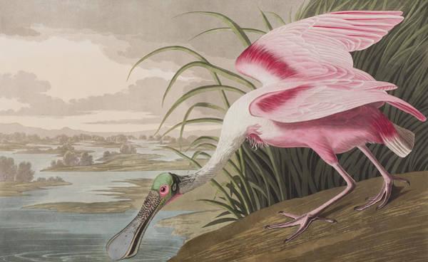 Marsh Bird Painting - Roseate Spoonbill by John James Audubon