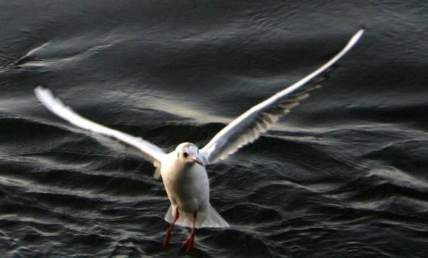 Water Birds Wall Art - Photograph - Seagulls In Flight by Valia Bradshaw