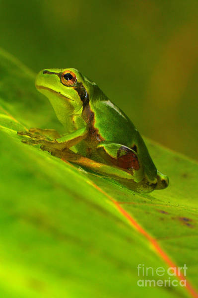 Frog Photograph - Tree Frog by Odon Czintos