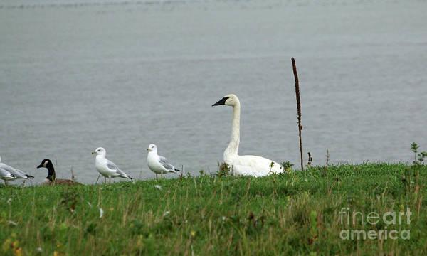 Wall Art - Photograph - Trumpeter Swan by Lori Tordsen