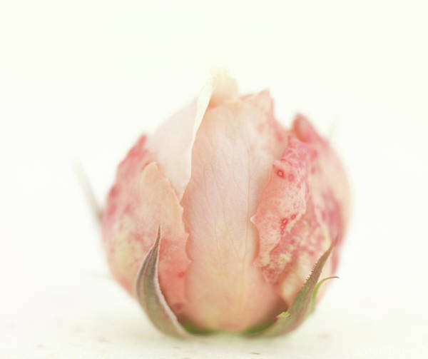 Pink Rose Photograph - Rosebud by Anne Geddes