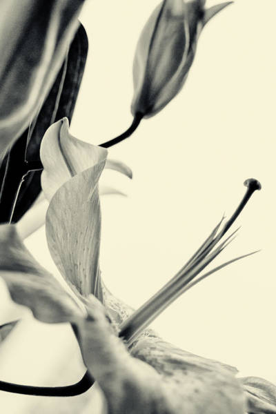 Photograph - Gracious Lily Flower by John Williams