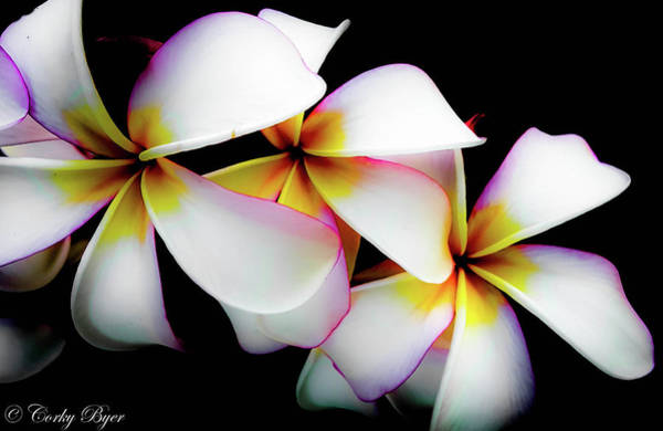 Wall Art - Photograph - White Plumeria by Corky Byer