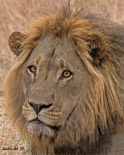 Digital Art - African Lion by Larry Linton