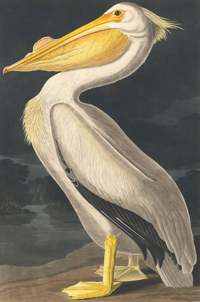 Pelican Wall Art - Painting - American White Pelican by John James Audubon