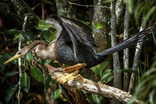 Photograph - Anhinga Shark Valley Everglades Florida by Adam Rainoff