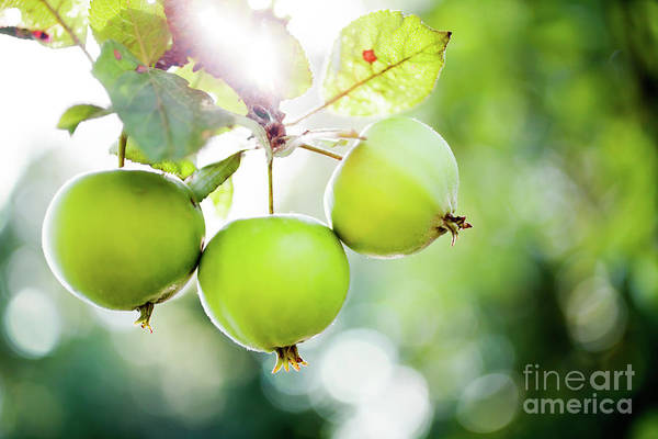 Wall Art - Photograph - Apple Tree by Kati Finell