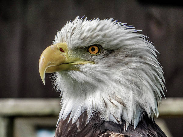 Twitcher Wall Art - Photograph - Bald Eagle. by Angela Aird