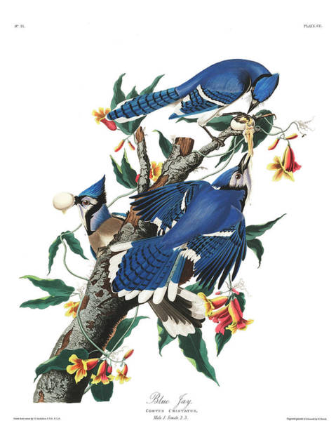Wall Art - Painting - Blue Jay by John James Audubon