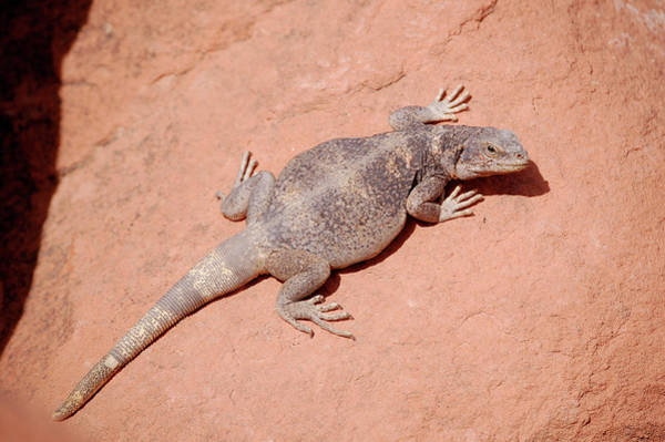 Art Print featuring the photograph Chuckwalla, Sauromalus Ater by Breck Bartholomew
