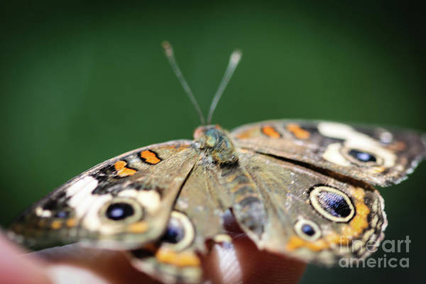 Photograph - Common Buckeye Junonia Coenia by Henrik Lehnerer