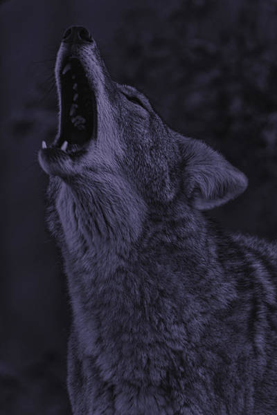Photograph - Coyote by Brian Cross