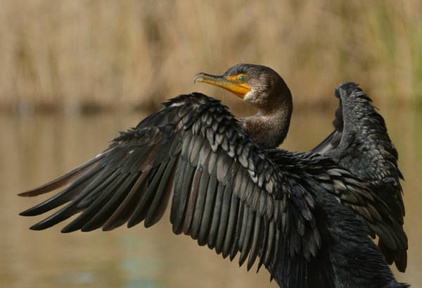 Double Crested Cormorant Photograph - Drying Out by Fraida Gutovich