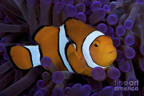 Pomacentridae Photograph - False Ocellaris Clownfish In Its Host by Terry Moore
