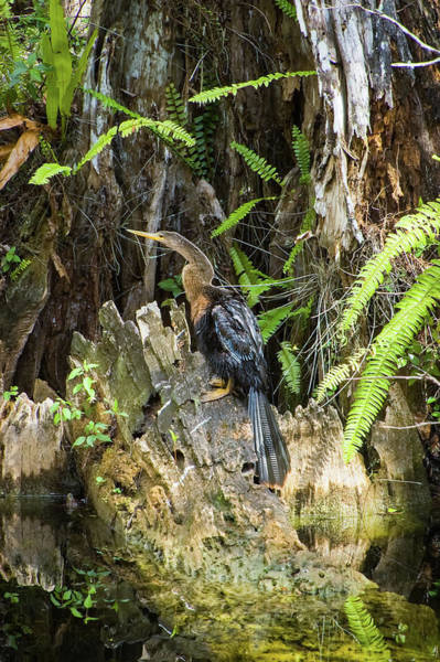 Wall Art - Photograph - Female Anhinga by Rich Leighton