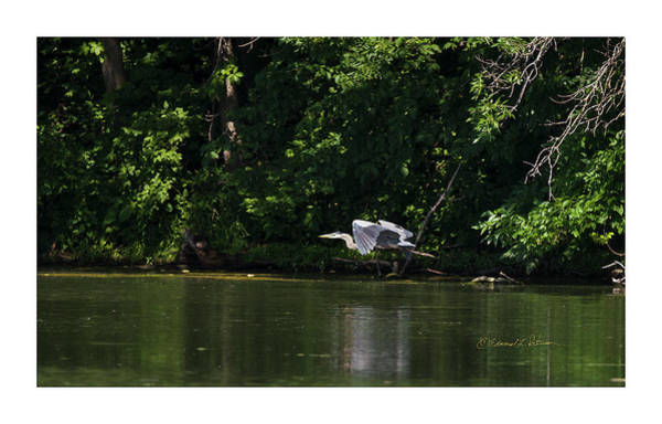 Photograph - Great Blue Heron In Flight by Edward Peterson