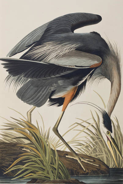Great Blue Heron Wall Art - Painting - Great Blue Heron by John James Audubon