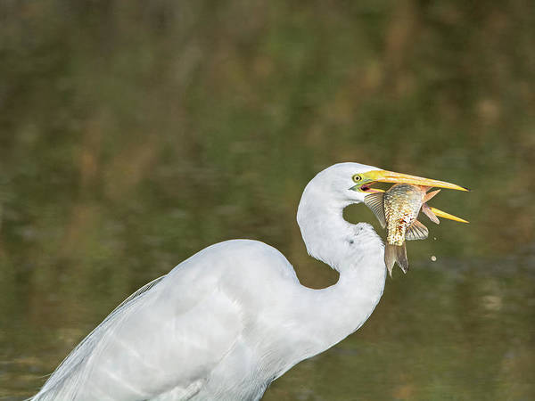 Photograph - Great Egret With Fish by Tam Ryan