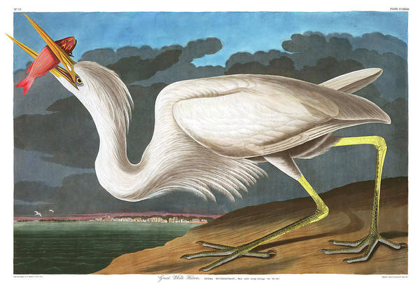 Ornithologist Wall Art - Painting - Great White Heron by John James Audubon