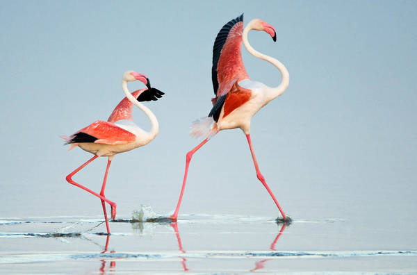 Phoenicopterus Roseus Wall Art - Photograph - Greater Flamingos Phoenicopterus Roseus by Panoramic Images