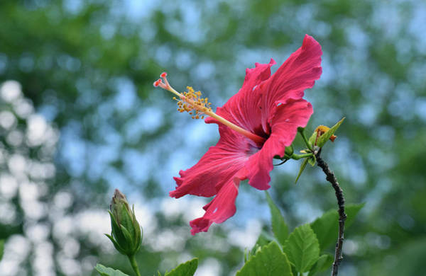 Photograph - Hibiscus by Larah McElroy