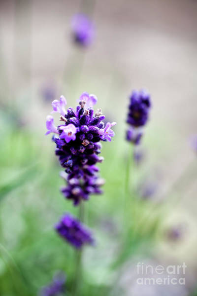 Wall Art - Photograph - Lavender by Kati Finell